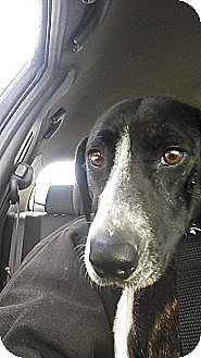 Bull Terrier/Hound (Unknown Type) Mix Dog for adoption in New Philadelphia, Ohio - Sasha