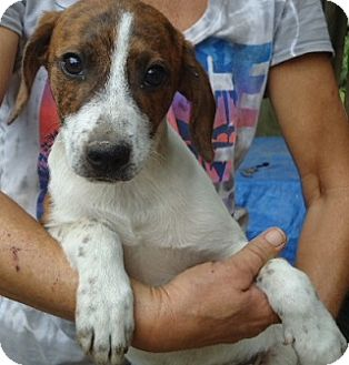 Jack Russell Terrier/Beagle Mix Puppy for adoption in Spring Valley, New York - Noby
