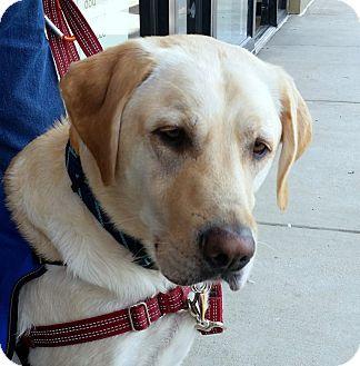 Labrador Retriever Dog for adoption in Coppell, Texas - Wizard
