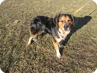 Brittany/Spaniel (Unknown Type) Mix Dog for adoption in Cameron, Missouri - Shep