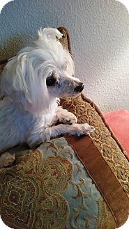 Maltese Mix Dog for adoption in Las Vegas, Nevada - KB