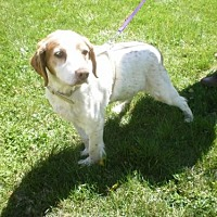 Brittany Dog for adoption in Walton, Kentucky - TN/Max