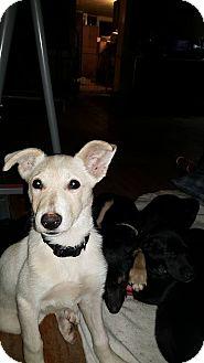 German Shepherd Dog Mix Puppy for adoption in Burlington, Vermont - Joy