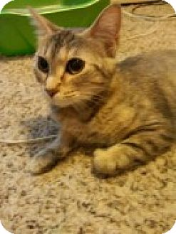 Domestic Shorthair Cat for adoption in McHenry, Illinois - Carmen