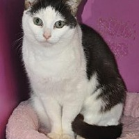 Domestic Shorthair Cat for adoption in Pompano Beach, Florida - Baby