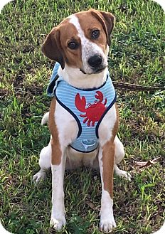 Hound (Unknown Type)/Spaniel (Unknown Type) Mix Dog for adoption in Homestead, Florida - Eva