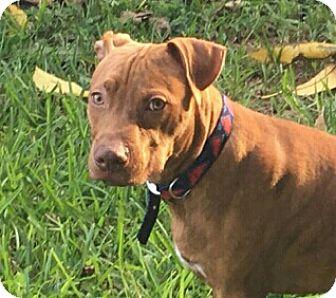 American Staffordshire Terrier Mix Puppy for adoption in Pompano Beach, Florida - Redbone