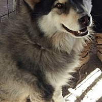 Siberian Husky/Chow Chow Mix Dog for adoption in Las Vegas, Nevada - Vortex