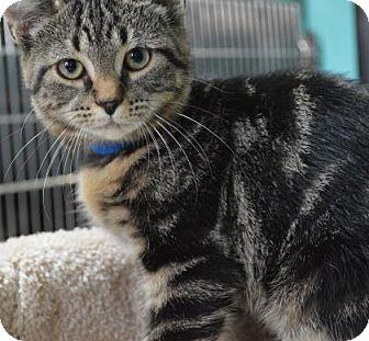 Domestic Shorthair Kitten for adoption in Monroe, Michigan - Caleb