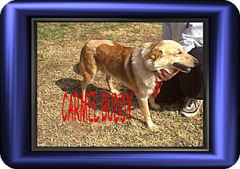 Collie Mix Dog for adoption in Cushing, Oklahoma - x  CARMEL adopted