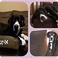 Adopt A Pet :: Bellatrix - DOVER, OH