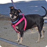 Miniature Pinscher Mix Dog for adoption in Simi Valley, California - Kiki
