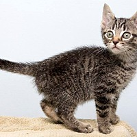 Adopt A Pet :: Kit Kat - Montclair, NJ