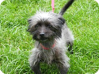 Yorkie, Yorkshire Terrier/Toy Poodle Mix Dog for adoption in Holland, Michigan - Prissy
