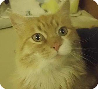 Domestic Longhair Cat for adoption in Alturas, California - Honey Bear