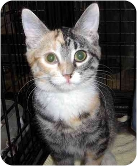 Calico Kitten for adoption in Overland Park, Kansas - Sparkle