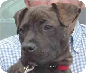 Pit Bull Terrier Mix Dog for adoption in Wake Forest, North Carolina - Bentley