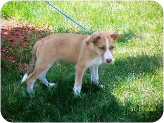 Collie Mix Puppy for adoption in Plainfield, Illinois - Reese