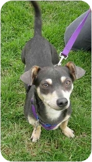 Chihuahua/Terrier (Unknown Type, Small) Mix Dog for adoption in Vista, California - Howard