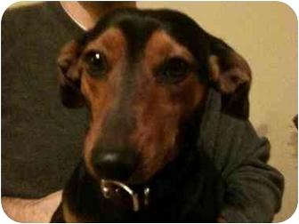 Dachshund Mix Dog for adoption in Scottsdale, Arizona - Chuckles