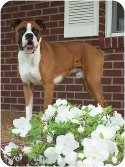 Boxer Puppy for adoption in Owensboro, Kentucky - Rocco