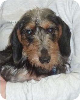Dachshund Dog for adoption in Omaha, Nebraska - Willy Wiggles
