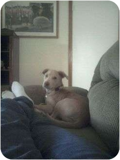 Labrador Retriever/Husky Mix Puppy for adoption in Sterling Hgts, Michigan - Izzy