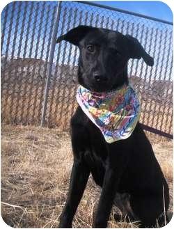 Pit Bull Terrier Dog for adoption in Rock Springs, Wyoming - Chloe