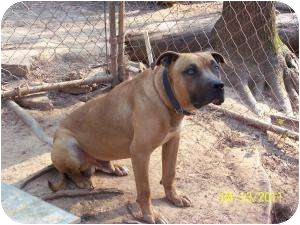 Mastiff/Pit Bull Terrier Mix Dog for adoption in Winnsboro, South Carolina - Able