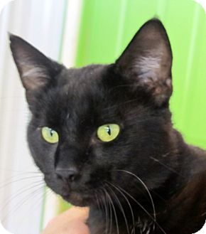 Domestic Shorthair Cat for adoption in Marseilles, Illinois - Sherman