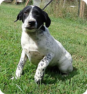 Border Collie/Spaniel (Unknown Type) Mix Dog for adoption in Spring Valley, New York - Molly (Reduced)