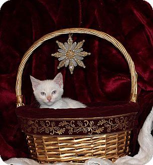 Domestic Shorthair Kitten for adoption in Stockton, California - Snow Princess