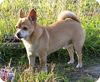 Chihuahua Mix Dog for adoption in Kempner, Texas - Bear