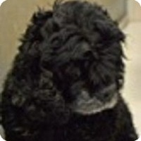 Adopt A Pet :: Charlie (Courtesy Posting) - Madison, WI