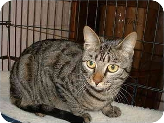 Domestic Shorthair Cat for adoption in Honesdale, Pennsylvania - Tiger