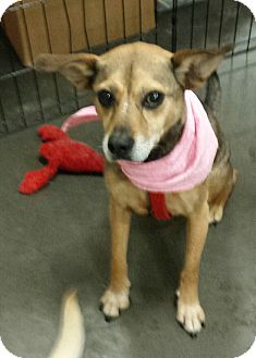Shepherd (Unknown Type)/Beagle Mix Dog for adoption in Alexis, North Carolina - Christy