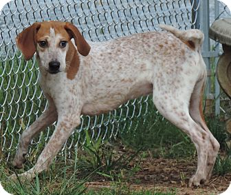 Bluetick Coonhound/Treeing Walker Coonhound Mix Dog for adoption in Newberry, South Carolina - Addie May
