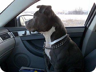 Pit Bull Terrier Mix Dog for adoption in Laingsburg, Michigan - Lazer