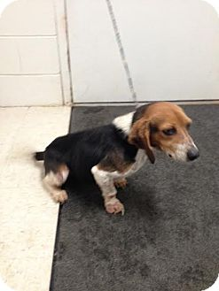 Beagle Mix Dog for adoption in Lancaster, Virginia - Nellie