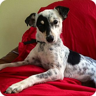 Italian Greyhound Mix Dog for adoption in Santa Monica, California - NINA