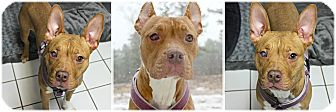 Pharaoh Hound/American Staffordshire Terrier Mix Dog for adoption in Forked River, New Jersey - Mikey