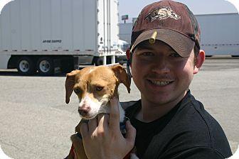 Dachshund/Chihuahua Mix Dog for adoption in Corona, California - Lonestar