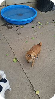 Chihuahua Mix Dog for adoption in Gustine, California - SAMMY