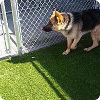 Adopt A Pet :: Sayble - Hamilton, MT