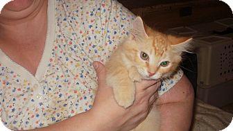 Domestic Longhair Kitten for adoption in Modena, Pennsylvania - Aragorn