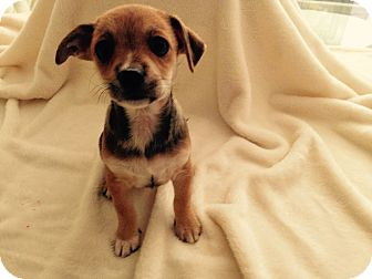 Chihuahua/Yorkie, Yorkshire Terrier Mix Puppy for adoption in Cincinnati, Ohio - Lilly
