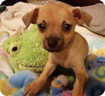 Chihuahua Puppy for adoption in Seahurst, Washington - Dante