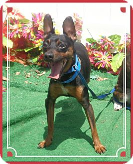 Manchester Terrier Mix Dog for adoption in Marietta, Georgia - SOONER SEE ALSO PRECIOUS