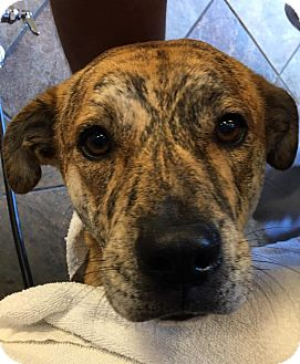 Plott Hound/Mountain Cur Mix Dog for adoption in Bronx, New York - Serena