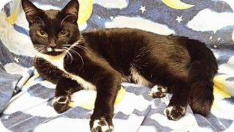 Domestic Shorthair Cat for adoption in Cannelton, Indiana - Checkers